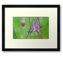 Pretty Pink Columbine Flower Framed Print