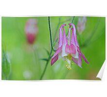 Pretty Pink Columbine Flower Poster