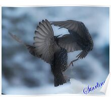 Starlings fighting Poster