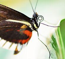 Butterfly by Paula Betz