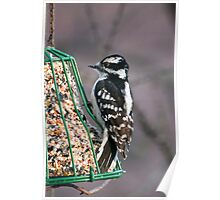 Downy Woodpecker Female Poster