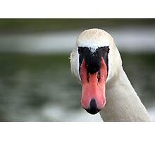Head-on Swan Photographic Print