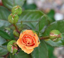 Beautyful rose in my garden  by fancyworld