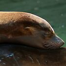 'Bonding' ~ Young Sea Lions by steppeland