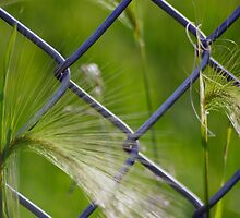 Foxtail at the Fence by Robin Clifton