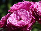Roses Flowers Garden art prints Purple Pink Rose Baslee Troutman by BasleeArtPrints