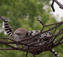 Pile of Ring-tailed Lemurs by Andy Whitfield
