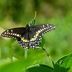 Beautiful in black ~ Swallowtail by Jeannine St-Amour