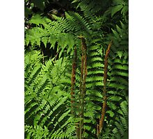 Ferns Photographic Print