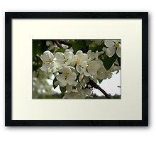 White Blossoms. Framed Print