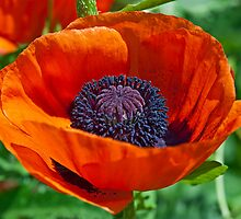 Giant red poppy by ImageItFoto