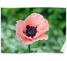 Pale pink poppy Poster
