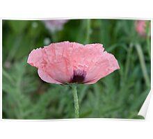Beautiful pink poppy Poster
