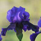 Tenderly Purple by Brian Bo Mei