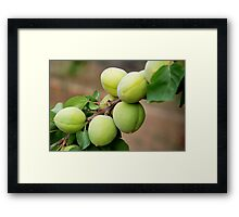 Apricots - Iran Framed Print