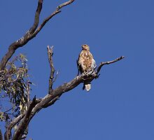 Whistling Kite by mosaicavenues