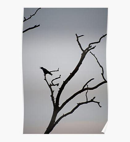 Black bird crowing Poster