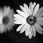 African daisy black and white by Josh Spacagna