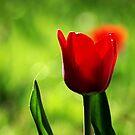 Tulip by heinrich