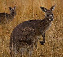 Two Kangaroos Boonoo Boonoo NP by Steve Bass