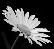 Daisy by Matt Sillence