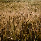 Wheat field by Matt Sillence