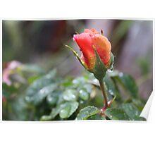 RAIN DROP'S ON PEACH ROSE  Poster