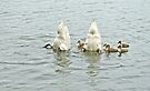 Bottoms Up - Mute Swan Family by MotherNature