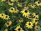 Black-Eyed Susan Wildflowers - Rudbeckia hirta by MotherNature