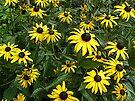 Black-Eyed Susan Wildflowers - Rudbeckia hirta by MotherNature
