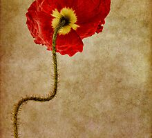 Poppy by Ann Garrett