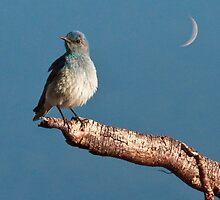 Mountain Bluebird by Mikhail Lenitsyn