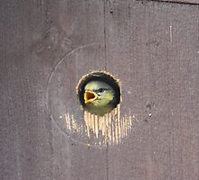 Baby Blue Tit peering out by Graham Matthews