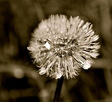 Lion's tooth (dandelion) by LadyFi
