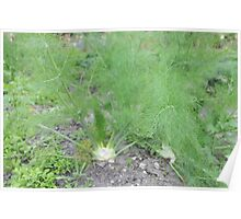 Okeechobee Farms - Fennel Poster