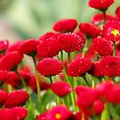 Red Pompoms by Fran0723
