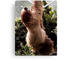 Linne's Two-Toed Sloth Bear Canvas Print