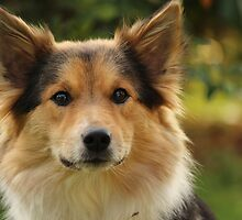 Amy - Icelandic Sheepdog by karina5