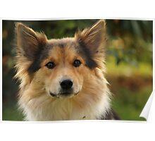 Amy - Icelandic Sheepdog Poster