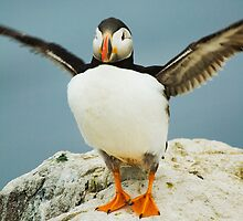If I flap harder will I fly     Puffin_(disambiguation) by Elaine123
