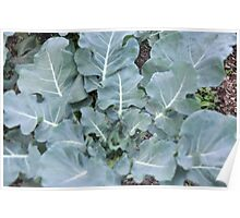 Okeechobee Farms - Broccoli Poster