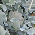 Okeechobee Farms - Broccoli Plant by Eat  Real Food