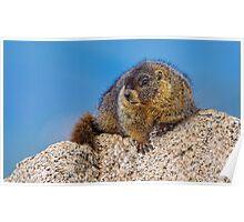 Juvenile Marmot Poster