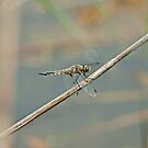Four Spotted Skimmer by Mike Oxley