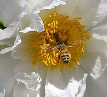 Bee loaded down with pollen, visiting a white peony  by Paula Betz