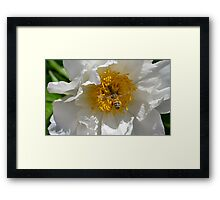 Bee loaded down with pollen, visiting a white peony  Framed Print