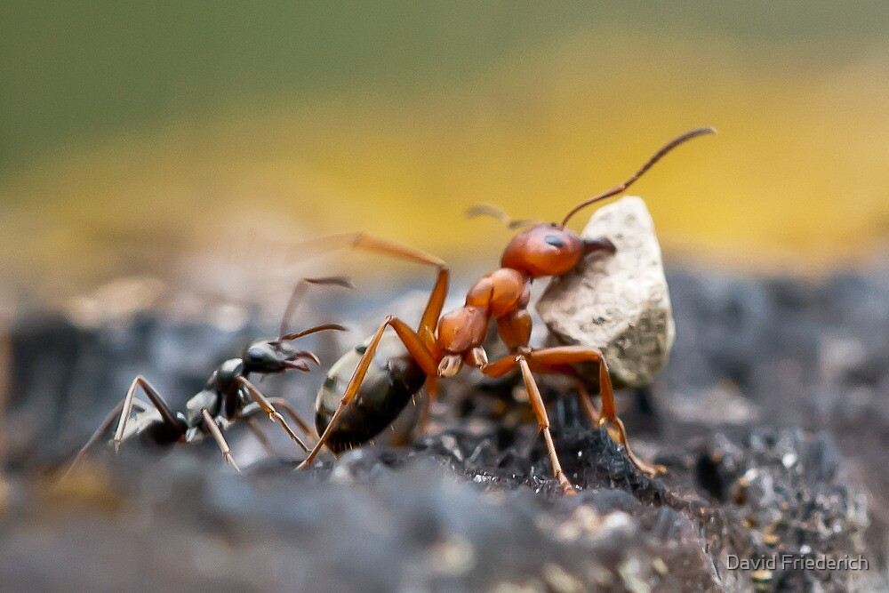 Ant Lifting Huge Rock with Slave Coming to Help by David Friederich