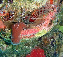Banded Cleaner Shrimp 2 by Leon Heyns