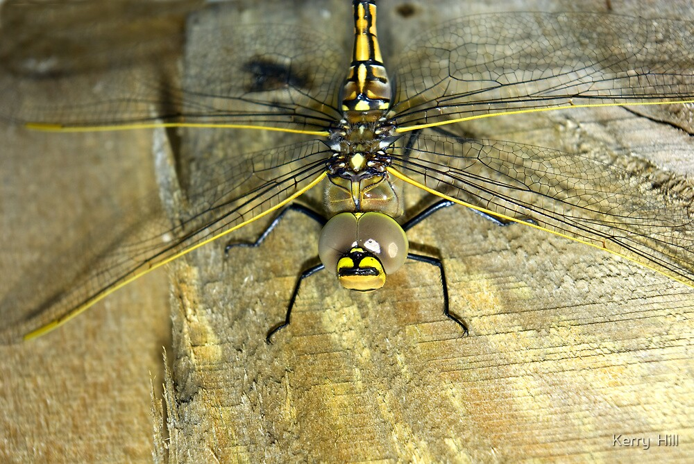 Dragonfly up close by Kerry  Hill