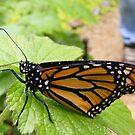 Morning Monarch by Jonathon Wuehler